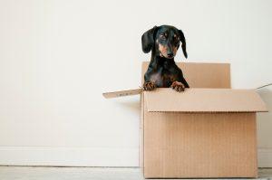 A cute dachsund sitting inside a moving box